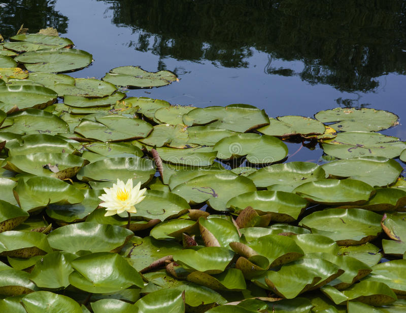 Download Water Lilies stock photo. Image of garden, flowers, colorfu - 31906972