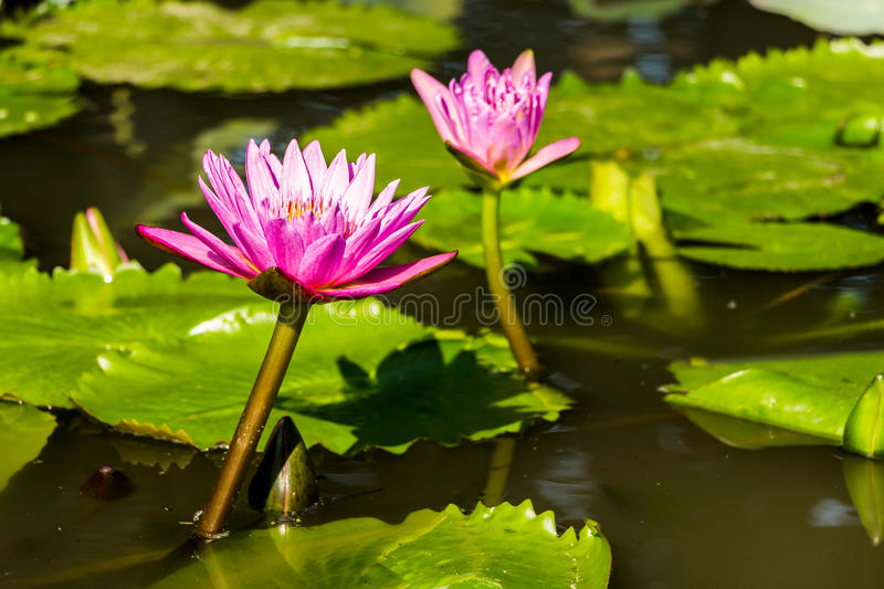Water Lilies. Beautiful Purple Water Lilies Floating in the pond royalty free stock photos