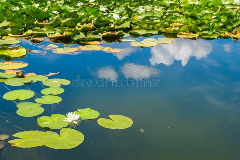 Water lilies. Beautiful water lilies in water on a background of reflection of the blue sky with clouds royalty free stock image