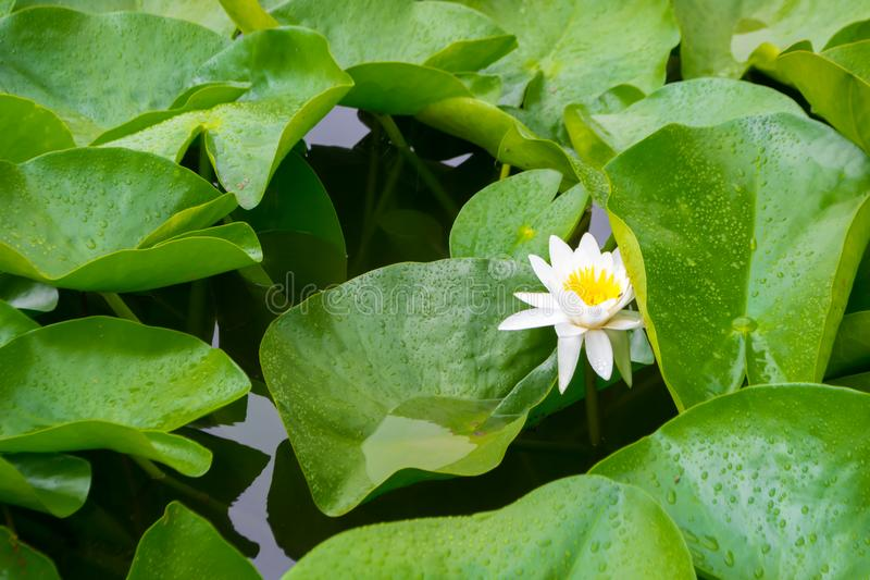 Water lilies. Beautiful water lilies in water after rain royalty free stock images