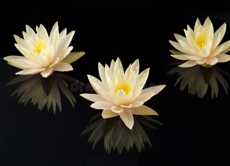 Water lilies on a black background. Water lilies composition on a black background stock photography