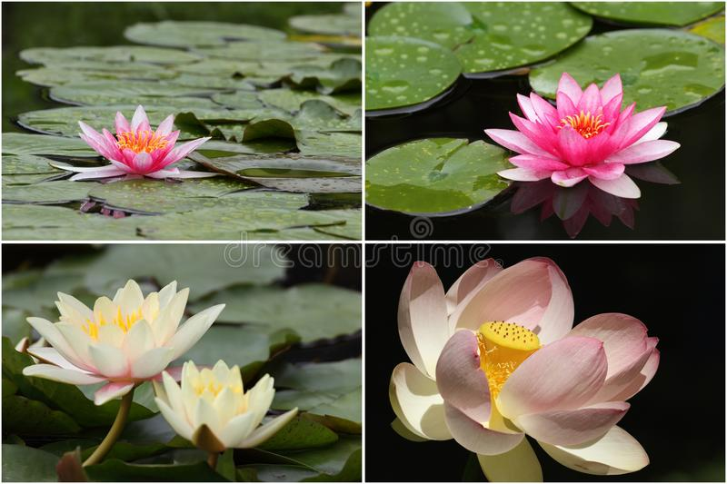 Water lilies in bloom stock images