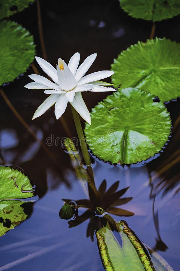 Water lilies bloom in water ponds in the morning stock photography