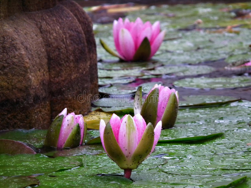 Water lilies. Blooming water lilies in the fountain royalty free stock photo