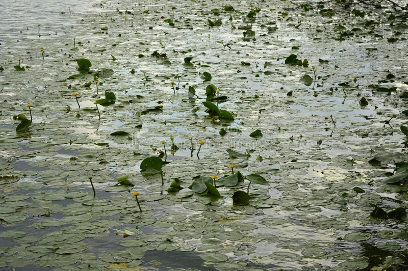Water lilies are blooming on the lake. Close up royalty free stock images