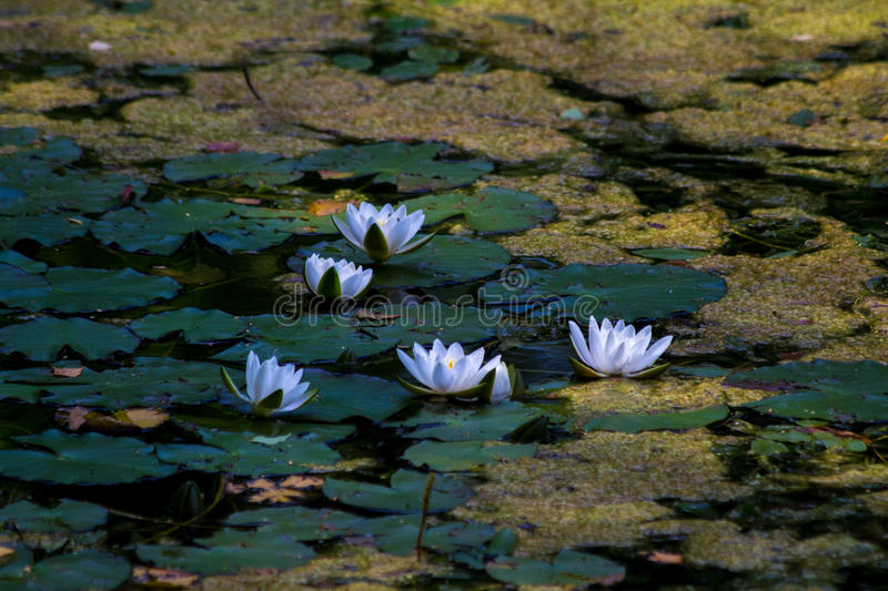 Water lilies. Blooming water lilies in a pond marsh stock image