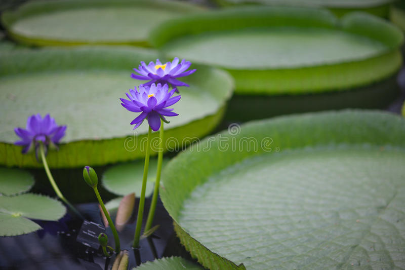 Water lilies. Blue flowers and huge leaves of rare water lilies royalty free stock photo