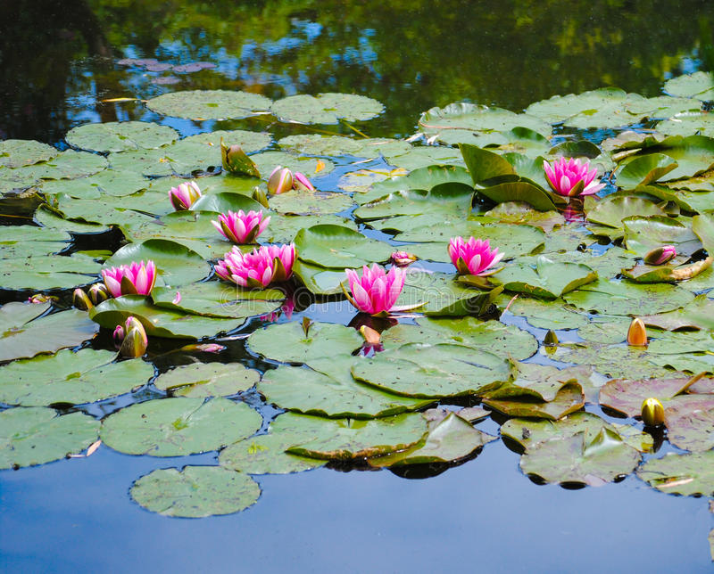 Water Lilies in Bright Pink stock photo