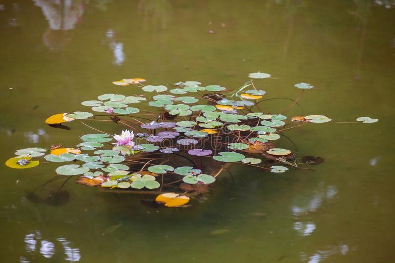 Water lilies in the city pond. Water lilies in the city park pond royalty free stock photography