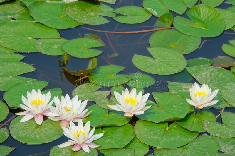Water lilies. The close-up of five white water lilies royalty free stock photo