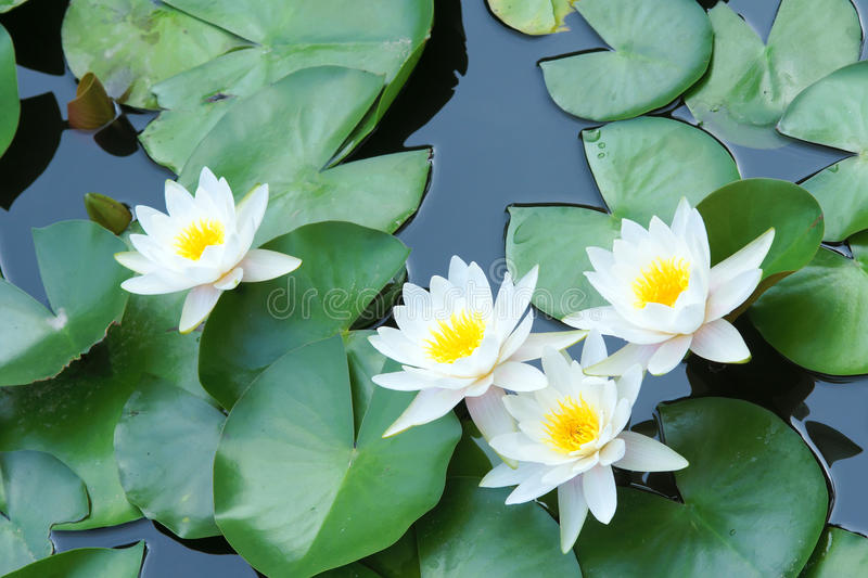 Water lilies. The close-up of four white water lilies royalty free stock photography