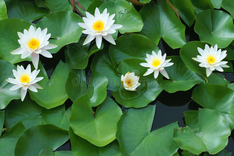 Water lilies. The close-up of six white water lilies royalty free stock image