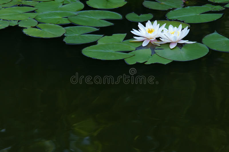 Water lilies. The close-up of two white water lilies royalty free stock photography