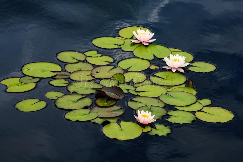 Water lilies in a cool, calm pond. Colorado Scenery. Blooming Water Lilies. The Natural Beauty of the Colorado Landscape stock images