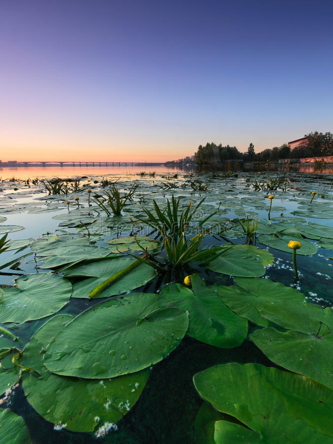 Water lilies. On the Dnieper. Summer. Ukraine royalty free stock image