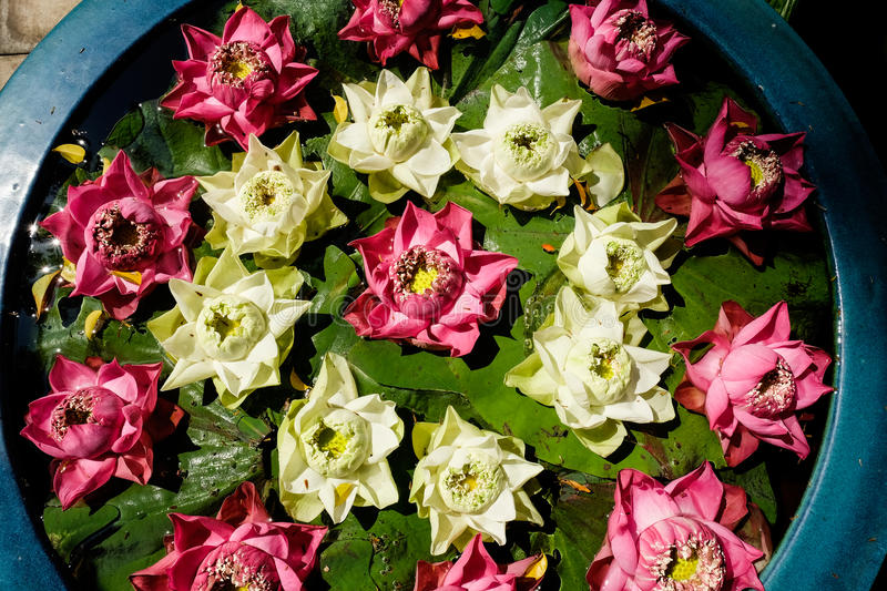 Water lilies floating in a blue plant pot. Pink and white water lilies in a circular pattern stock photography