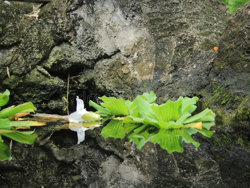 Water Lilies. Floating in a garden. Reflection stock image