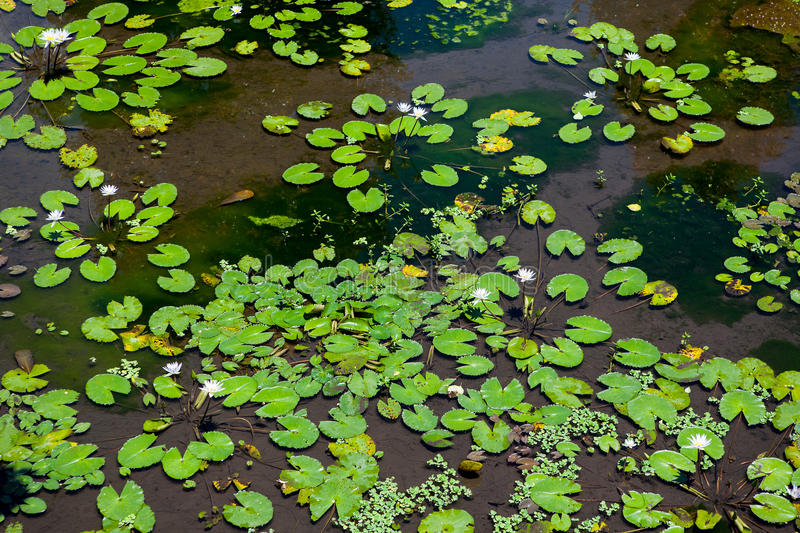 Water lilies flowers in a pond. In a tropical country stock image