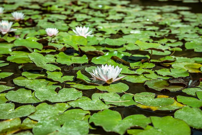 Water lilies in a pond. White flower and green leaves. Water lilies in a green surface pond. White flower and green leaves stock image