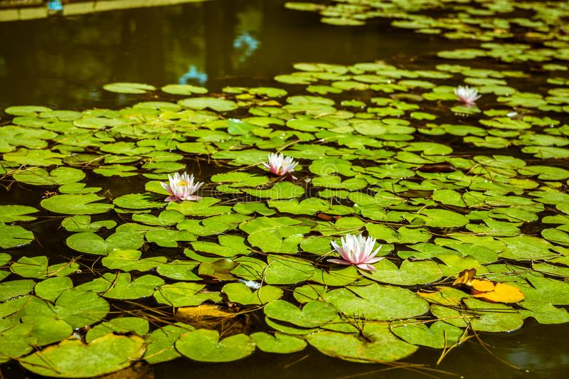 Water lilies in a pond. White flower and green leaves. Water lilies in a green surface pond. White flower and green leaves stock photos