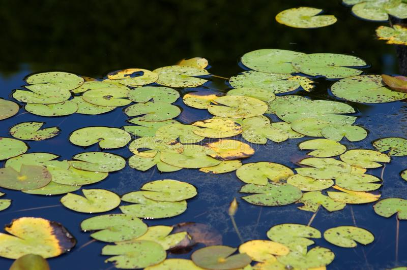 Water Lilies. At grounds for sculpture in New Jersey royalty free stock photos
