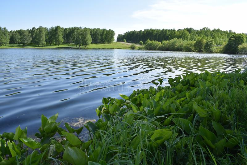 Water lilies by the lake. Water lilies, grown near a quiet lake near a green forest royalty free stock image