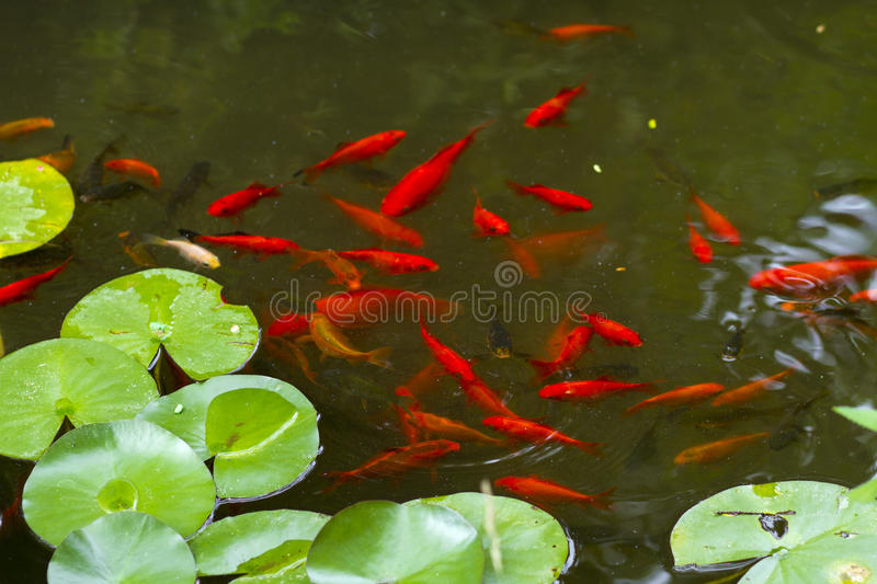 Water lilies and koi fish stock photo image of grass for Koi fish in water
