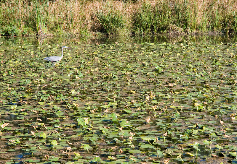 Download Water Lilies On Lake Stock Images - Image: 9247974