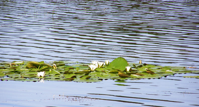 Water lilies on the lake. Green leaves and white flowers of water lilies on the water surface stock photos