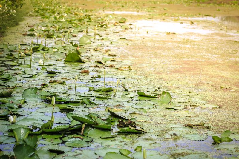 Water lilies. In the lake stock photos