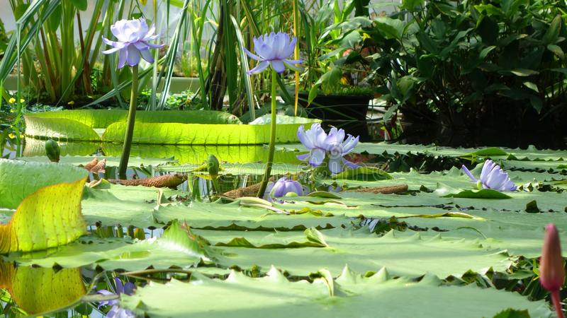 Water lilies in a pond. Water lilies with large green leaves in a pond stock photography