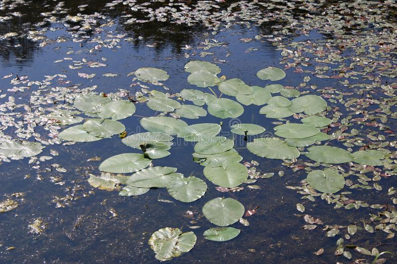 Water lilies and leaves on the water surface. N royalty free stock image