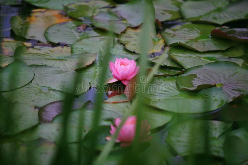 Water lilies stock photo
