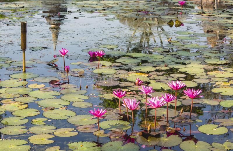 Water lilies and Lotus flower in a lake stock photography