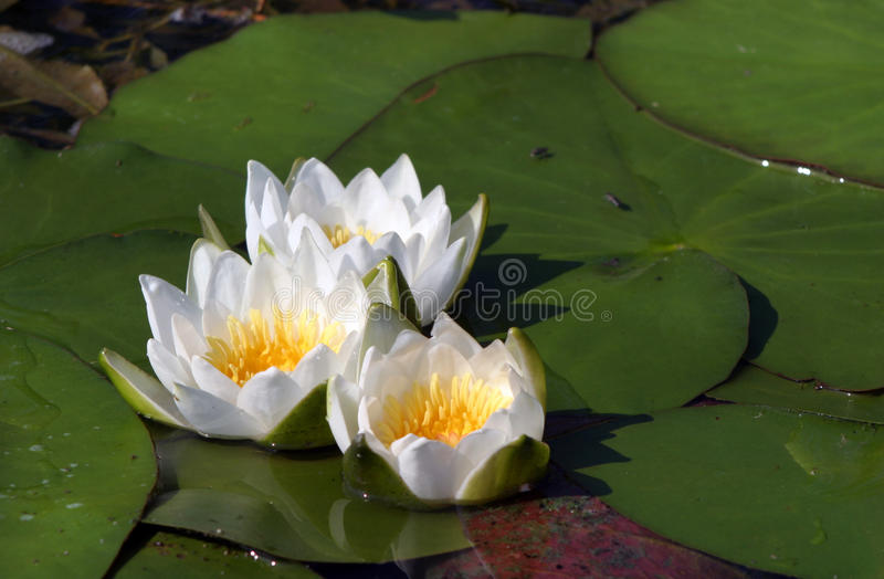 Water lilies. Macro white water lilies in a pond in summer royalty free stock image