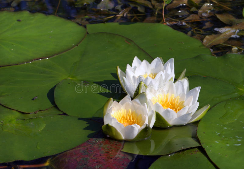 Water lilies. Macro white water lilies in a pond in summer royalty free stock photo