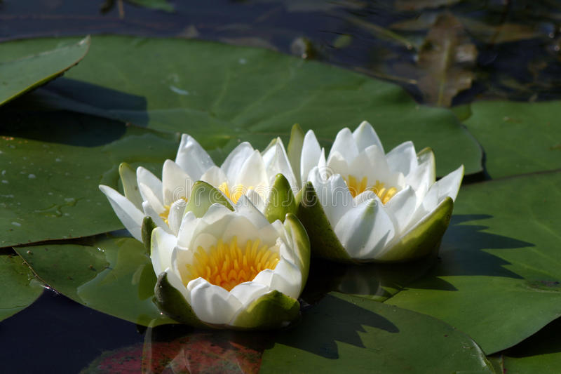 Water lilies. Macro white water lilies in a pond in summer royalty free stock photos