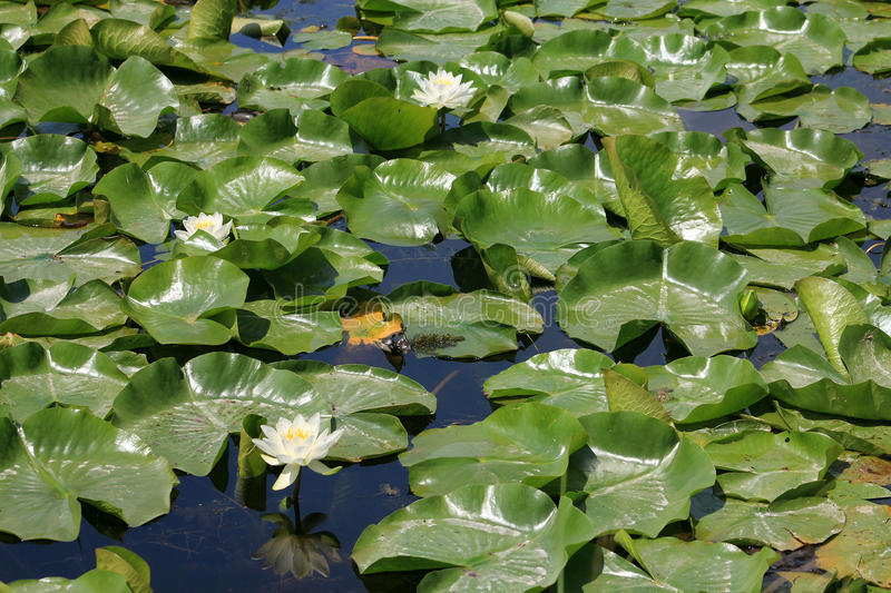 Water Lilies. Many white water lilies on the water surface stock images