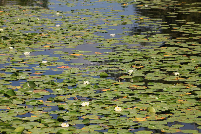 Water Lilies. Many white water lilies on the water surface as a floral background royalty free stock photos