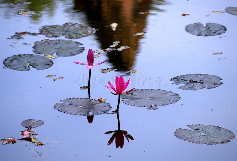 Water lilies on moat of Banteay Srei in Siem Reap, Cambodia. Siem Reap,Cambodia-January 9, 2019: Water lilies on moat of Banteay Srei in Siem Reap, Cambodia stock images