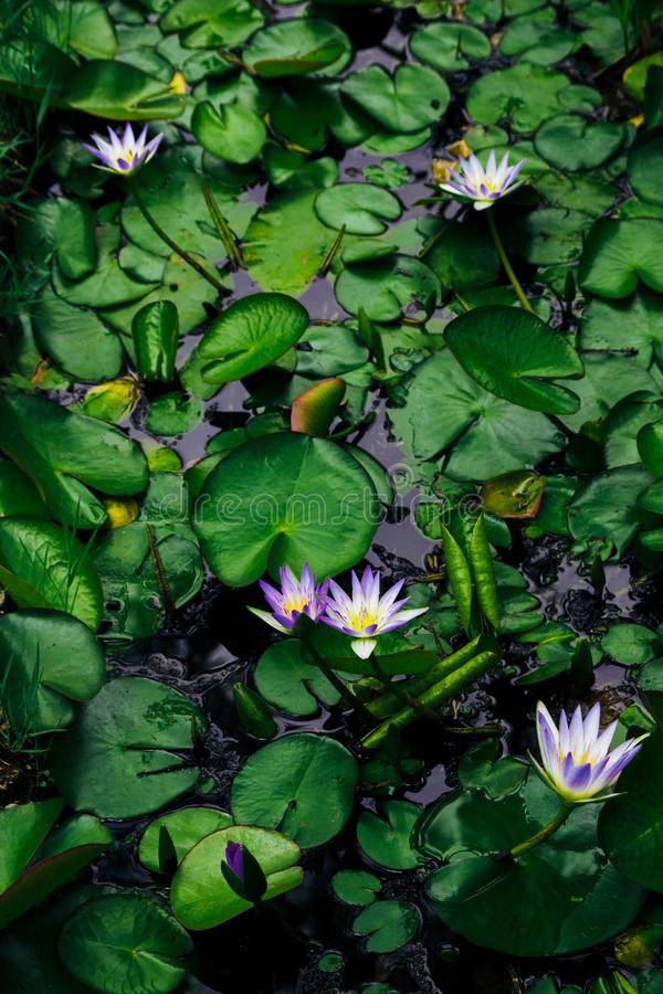 Water lilies Nymphaea beautiful flowers blooming in pond , dark moody stilization.  royalty free stock photos