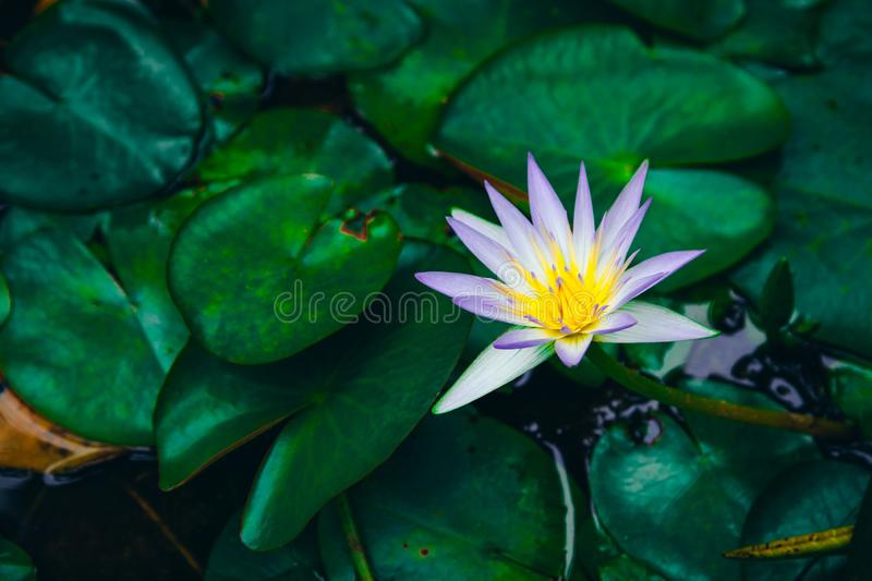 Water lilies Nymphaea beautiful flowers blooming in pond , dark moody stilization.  royalty free stock photo