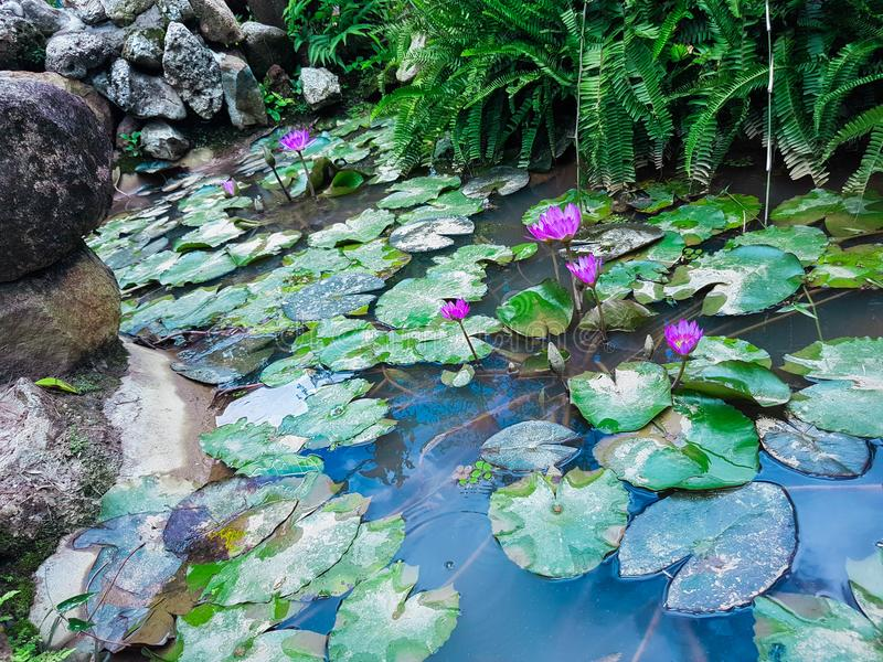 Carpet of water lilies in azia. Water lilies, or nymphaea Nymphaea - a genus of perennial herbaceous aquatic plants from the family of water-lily or nymphaeaceae stock image