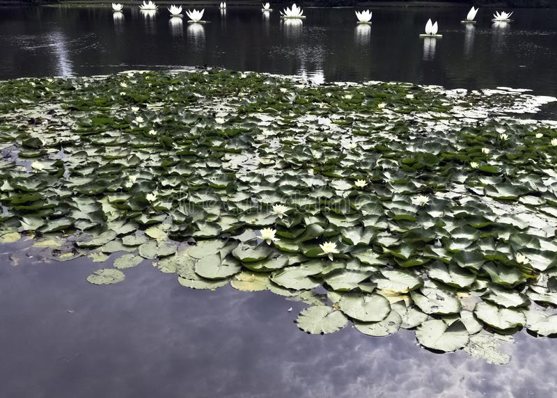 Water lilies nymphaeaceae or lily pad in Shefield Lake, Uckfield, United Kingdom. Water lilies nymphaeaceae or lily pad in Shefield Lake - Uckfield, United royalty free stock photo