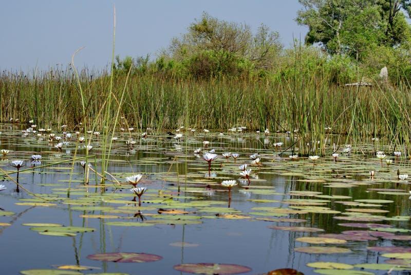 Water lilies in the Okavango Delta. Near Maun, Botswana royalty free stock photography