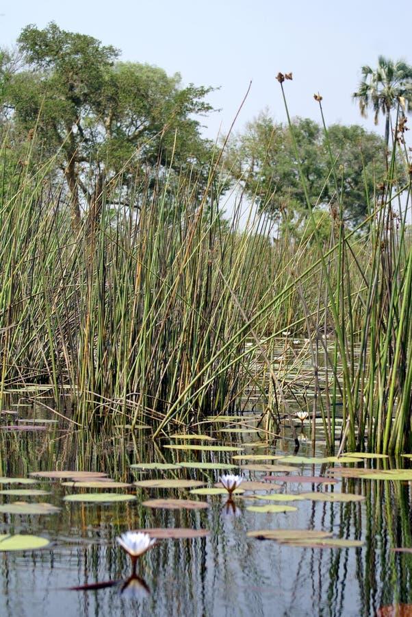 Water lilies in the Okavango Delta. Near Maun, Botswana royalty free stock photo