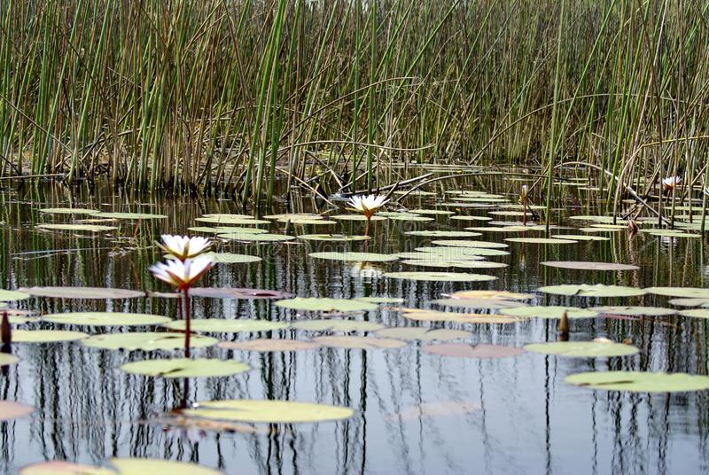 Water lilies in the Okavango Delta. Near Maun, Botswana stock images