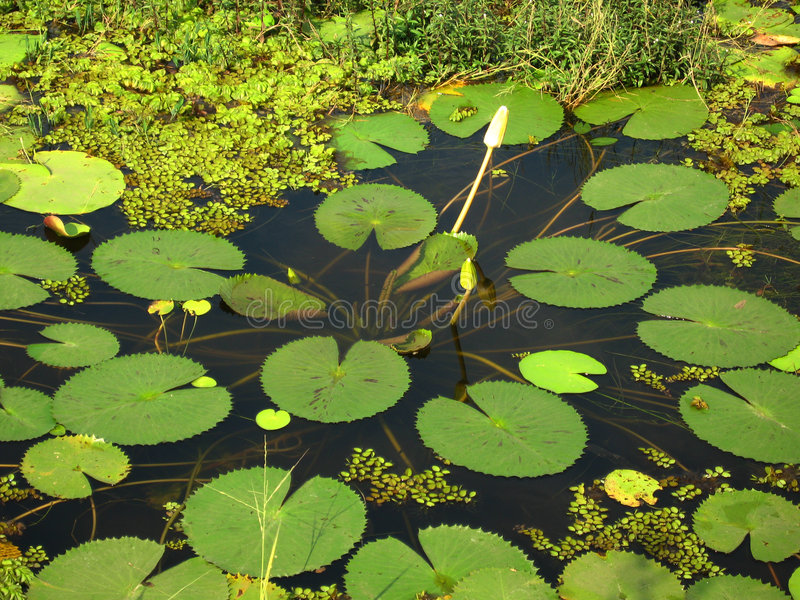 Download Water Lilies in Pond stock photo. Image of nymphaeaceae - 1509332