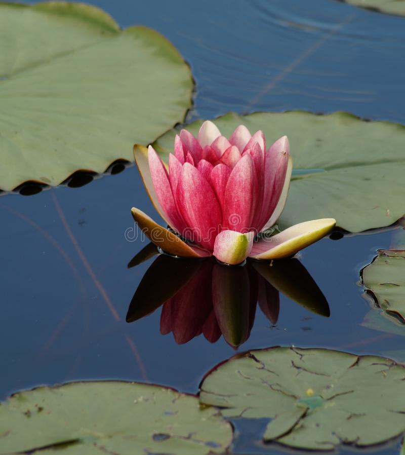 Download Water lilies on a pond stock photo. Image of green, garden - 41308348