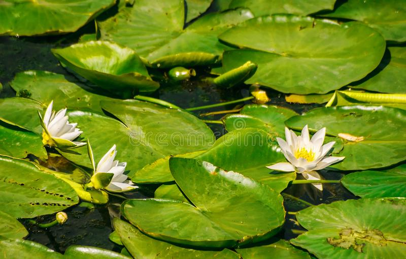 Water lilies in the pond. Bright water lilies in the pond in the city park on sunny summer day royalty free stock image
